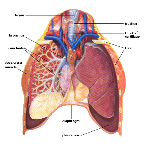 Beautiful the lungs crest anatomy and physiology biology images massagetherapy ccuart Images